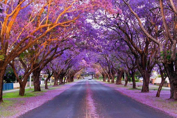 Nằm ở nam bán cầu, mùa xuân của Australia kéo dài từ tháng 9 đến tháng 11. Lúc này, các loài hoa bắt đầu nở rộ trên khắp đất nước, trong đó có Jacaranda hay còn gọi là phượng tím. Ảnh: Au Tree Lopping.