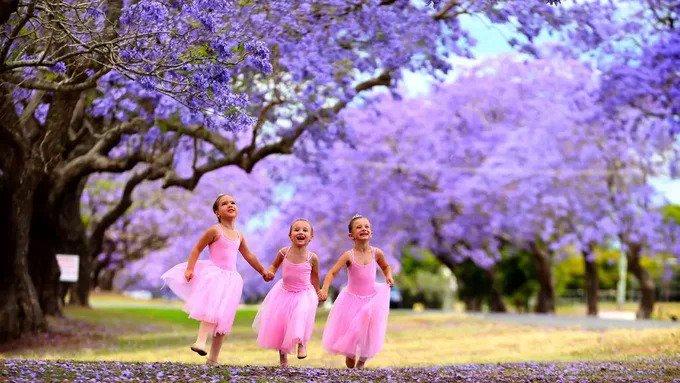 Có nguồn gốc từ Nam Mỹ, phượng tím được cho là xuất hiện ở Australia vào những năm 1850. Khi đó, loài hoa này được trồng thử nghiệm trong vườn bách thảo hoàng gia của Sydney nhưng không sống được lâu. Đến năm 1868, chủ vườn ươm tại Double Bay, ông Michael Guilfoyle đã tìm ra phương pháp giâm cành để trồng loài cây này. Đến cuối thế kỷ 19, phượng tím trở nên phổ biến ở bang Queensland và New South Wales. Ảnh: Nathan Edwards.