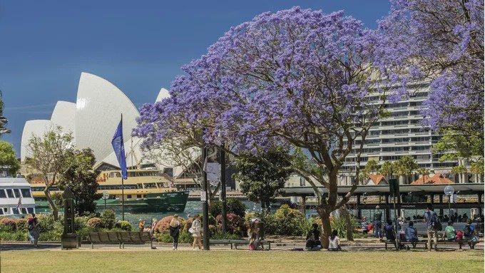 Một trong những điểm ngắm phượng tím thu hút nhiều du khách nhất là thành phố Sydney. Vào tháng 10, 11, loài hoa này nở rộ và khi rụng tạo thành những cơn mưa hoa tím ở ven đường, công viên và cả các trường đại học. Ảnh: Time Out.