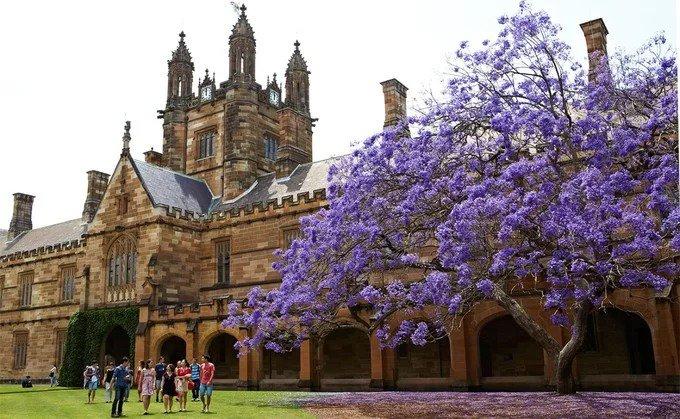 Một cây phượng tím mang tính biểu tượng của thành phố nằm trong khuôn viên Đại học Sydney. Ở đây có một câu chuyện truyền miệng rằng, nếu sinh viên không ôn luyện trước khi hoa nở sẽ bị trượt trong kỳ thi. Ngược lại, bạn sẽ gặp may mắn nếu bắt được một bông hoa rơi bằng tay phải. Năm 2016, cây phượng tím 88 tuổi ở ngôi trường đã bị đổ do sâu bệnh. Đến nay, một bản sao của cây được trồng lại với cành giâm từ cây cũ. Ảnh: University of Sydney.