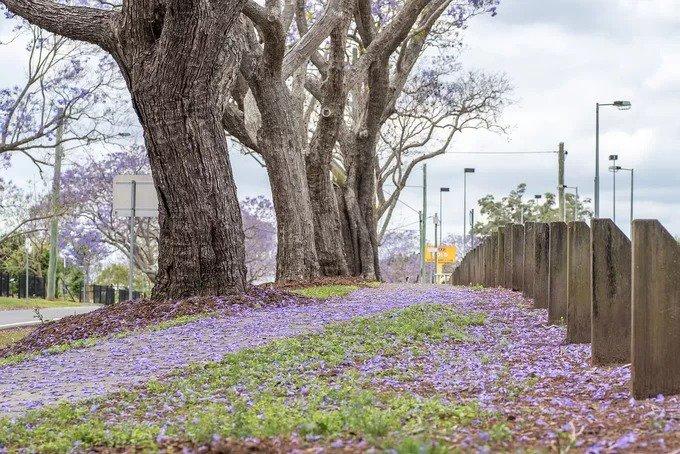 Jacaranda là một chi trong 49 loài thực vật có hoa trong họ Bignoniaceae. Loài hoa này thường có màu xanh tím, tuy nhiên cũng có dạng màu trắng. Ngoài Australia, phượng tím còn được trồng ở nhiều nơi như Nam Phi, Brazil, New Zealand, Nepal và cả Đà Lạt, Việt Nam. Ảnh: Needpix.